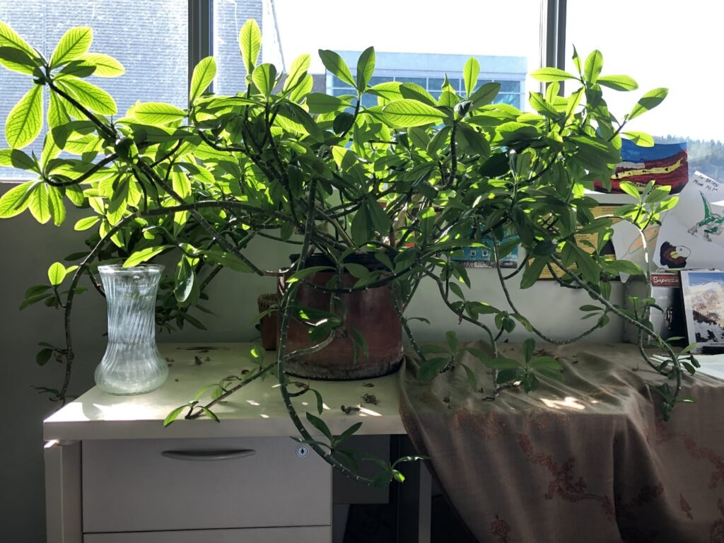 Photo of Brian's office plant, looking very happy.